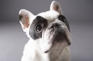 Votez pour le nom de notre Bulldog Français